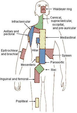 Illustration of the regional lymph nodes