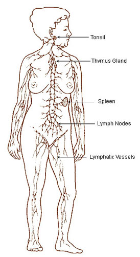 Illustration of the lymphatic system