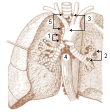 Numbered illustration of the visceral lymph nodes of the thorax