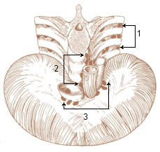 Numbered illustration of the lymph nodes of the lower thorax