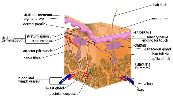 Illustration of the components of the skin