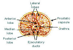 Illustration of the lobes of the prostate.