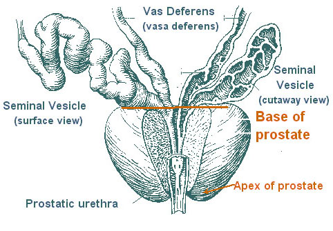 Illustration of the prostate.
