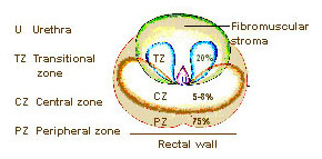 Illustration of the zones of the prostate.