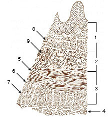 Illustration of esophogal layers.