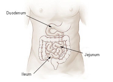 Illustration of the small intestine.