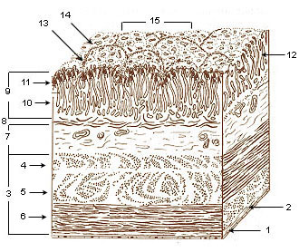 Illustration of the layers of the stomach.